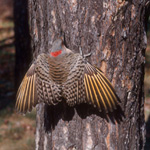 flicker on tree