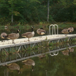 geese on pier
