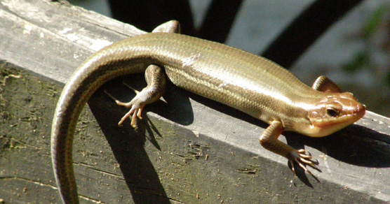 U S Lizard Lizards - Princ...