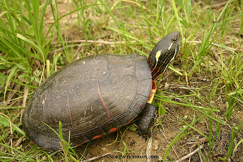 midland painted turtle walking in grass