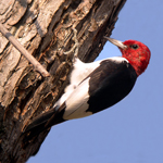 a woodpecker holds on