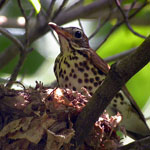 a wood thrush on nest