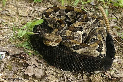 Rattlesnakes - DesertUSA