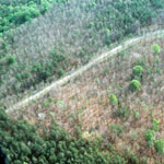 defoliation of trees by the gypsy moth