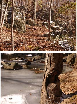 (Above) Rock Outcropping (Below) Beaver activity along South Fork Quantico Creek