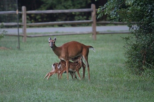 Two young deer feeding off of their mother
