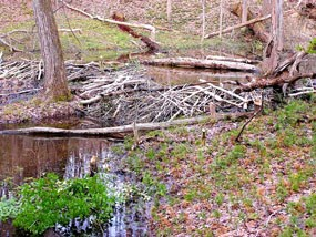 Beaver dam in the creek on Oak Ridge Trail