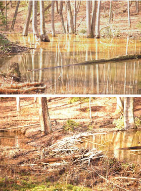 Beaver activity along South Fork Quantico Creek