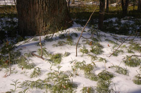 The green of ground cedar contrasting the snow cover ground.
