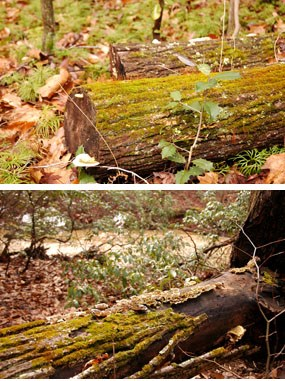 Two photos of moss growing on a downed log