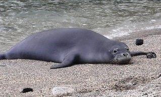 Monk Seal Keoneele Cove