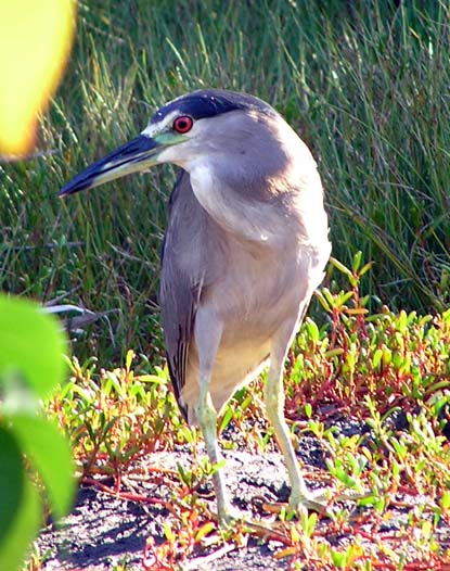 'Auku'u (Black Crowned Night Heron) in the morning light.