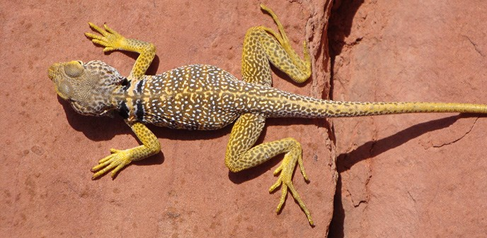 A yellow and spotted lizard lays across the sandstone.