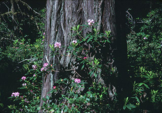 redwoods and rhododendrons