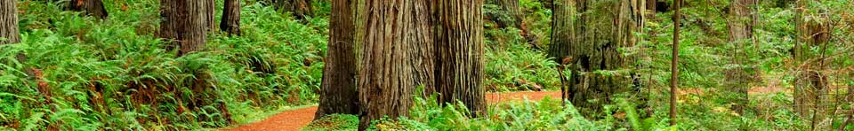 Image of coast redwood forest along Cal-Barrel Road