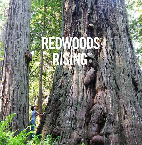 Redwood Rising Logo is super-imposed on top of redwood trees