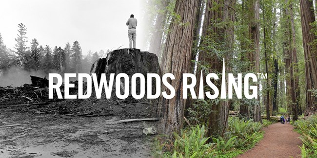 Montage of logged redwoods( left) and old-growth redwoods(right). Text says Redwoods Rising