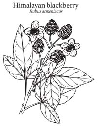 Blackberry Coloring Sheet
