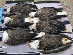 Ingested fragments from spent lead ammunition kill bald eagles and other birds. Using non-lead bullets prevents lead poisoning in wildlife.