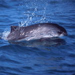 Harbor Porpoise breaches the water.