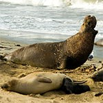 Northern Elephant Seal and pup lay on beach.
