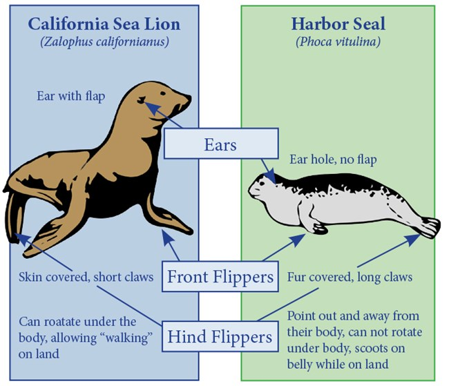 Seal vs Sea Lion
