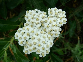 Commonyarrow Flowers on Common Yarrow  Achillea Millefolium