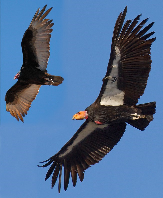 Two birds in flight. A turkey vulture is to the left, a larger California Condor is to the right. The condor has a GPS tracking device.