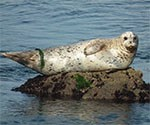 harbor Seal laying on a rock.