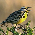 western meadowlark on a branch.