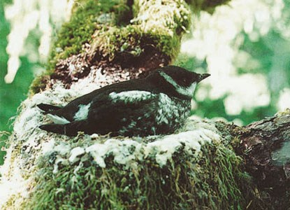 An adult murrelet in a tree.