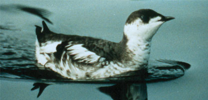 murrelet winter plumage