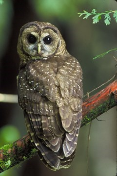 Northern spotted owl sitting on a branch.