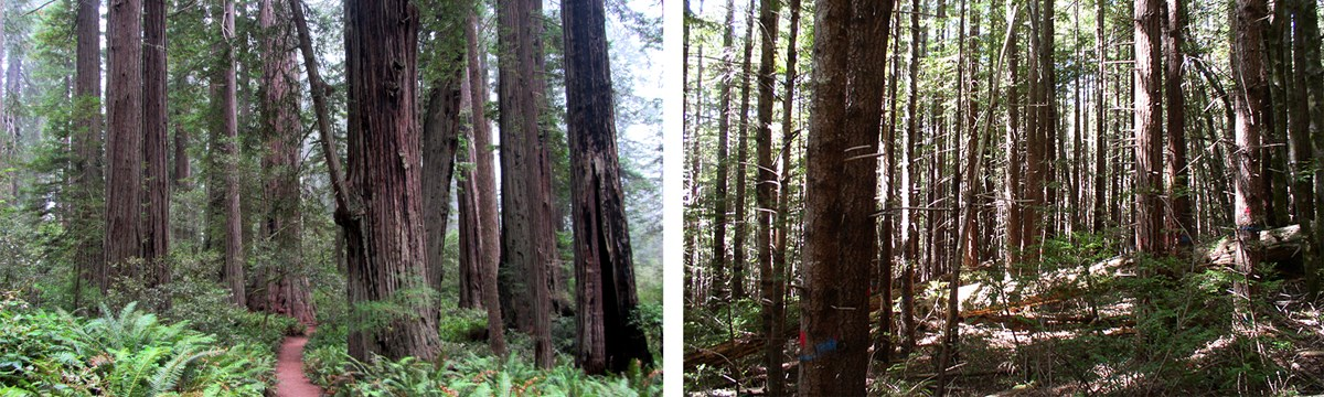 comparison of old-growth(left) with second growth forest