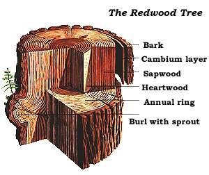 redwood tree section