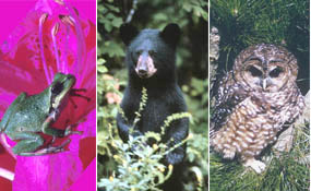 Pacific tree frog, American black bear, northern spotted owl