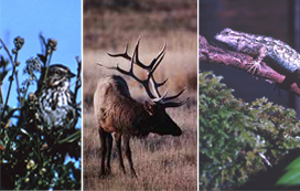 song sparrow, Roosevelt elk, fence lizard