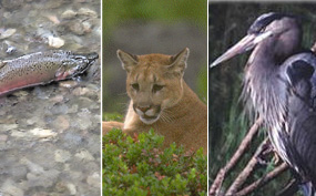 Coho salmon, mountain lion, great blue heron