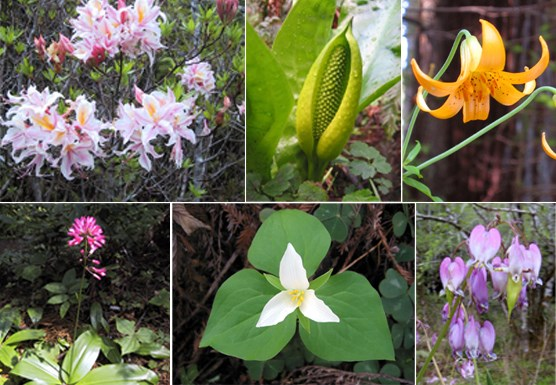Top Left: azaleas Top Middle: skunk cabbage Top Right: columbia lily Bottom Left: clintonia Bottom Middle: trillium Bottom Right: bleeding heart