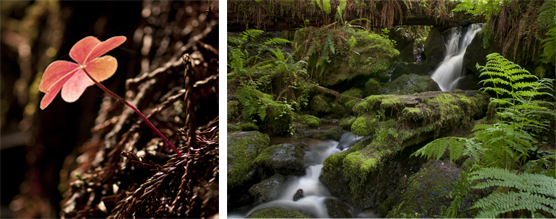 Left to right: Redwood sorrel and coast redwood needles; Trillium Falls.