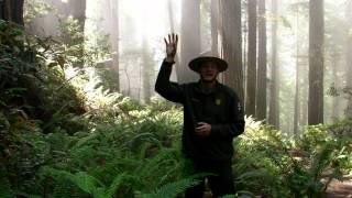 A park ranger in the Redwoods