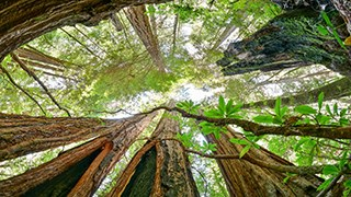 fish eye view into redwood canopy