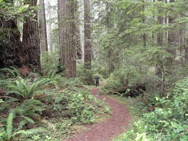 view of trail through redwoods