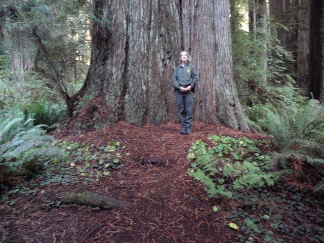 large redwood tree with a woman standing in front of it