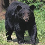 Black Bear walks down trail.