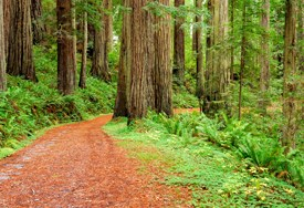 Cal Barrel Road. A winding scenic drive meanders through redwoods.