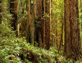 Coast Redwoods Along Prairie Creek