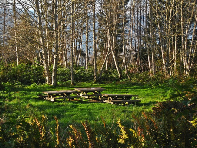 Three picnic tables and alder trees