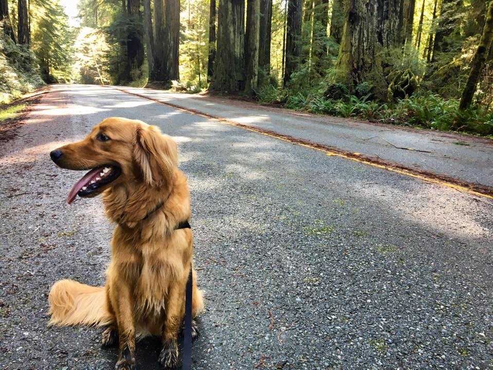A leashed dog on a road with redwood trees in background