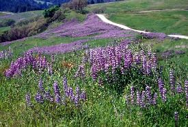 Lupine Along Bald Hills Road
